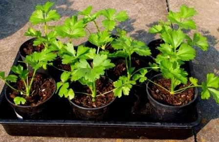 Вирощування розсади селери кореневої