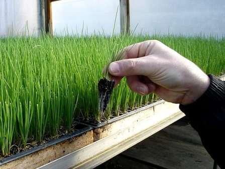 Вирощування розсади цибулі з насіння - як виростити розсаду цибулі з насіння