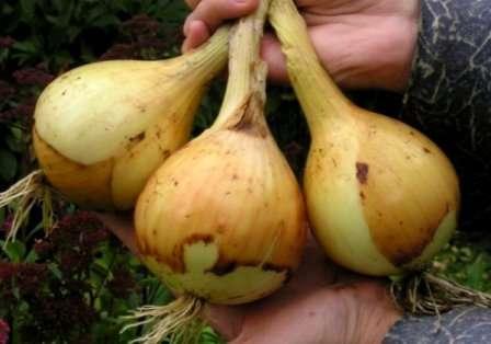 Плюси вирощування розсади цибулі