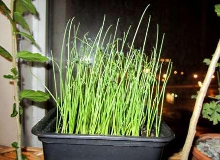 Вирощування розсади цибулі