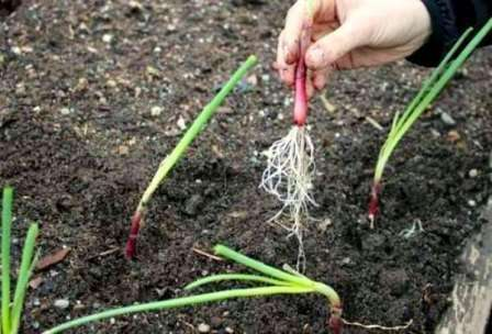 Догляд за розсадою цибулі