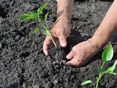 Коли садити розсаду у відкритий грунт