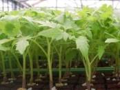 Як підготувати насіння помідор до висадки для розсади
