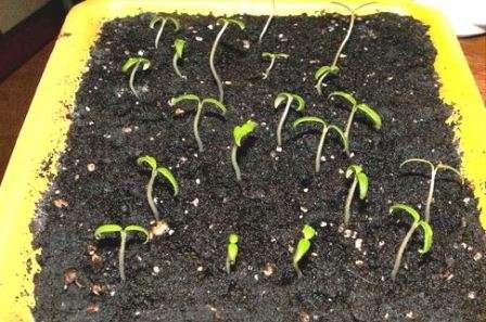 Як здійснювати обробку насіння помідор