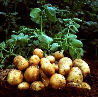 вирощування ранньої картоплі