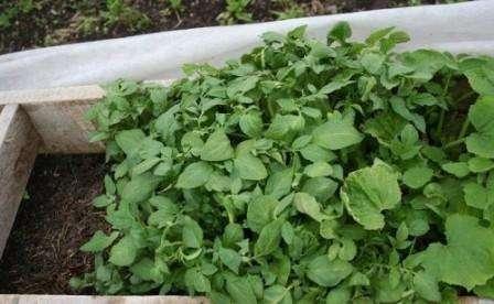 Ранній урожай картоплі