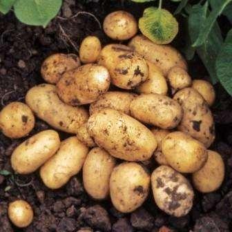 Комбіноване пророщування картоплі