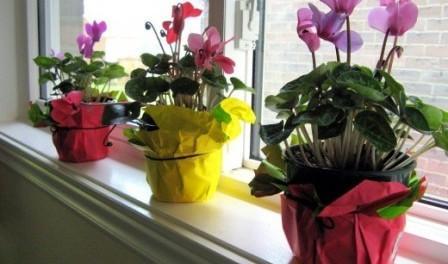 Цикламен догляд в домашніх умовах - як доглядати за цикламеном.
