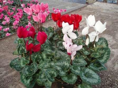 Квітка цикламен як доглядати в домашніх умовах