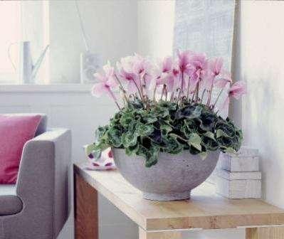 Як доглядати за цикламеном в домашніх умовах