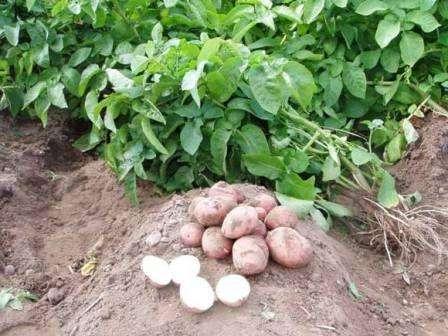 Фосфорні і калійні добрива для картоплі