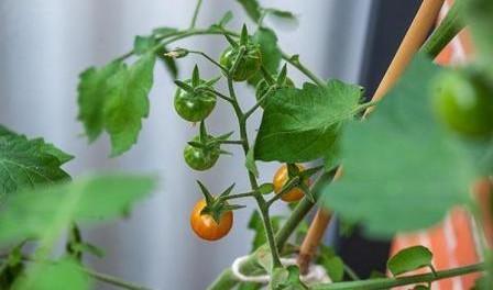 Добриво для помідорів - чим підживлювати розсаду томатів
