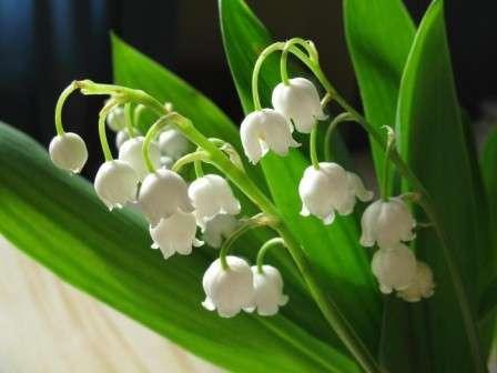 Фото квітів конвалії - Лісова конвалія ...: http://www.xpert.com.ua/foto-kvitiv-konvalii.html