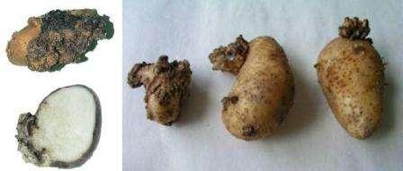 Рак картоплі і заходи боротьби з ним