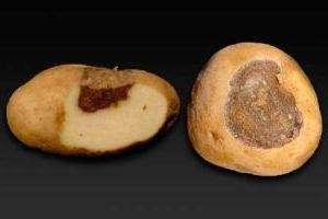 Хвороби картоплі (фото)