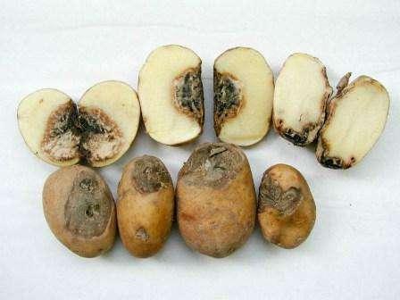 Як боротися з хворобами картоплі