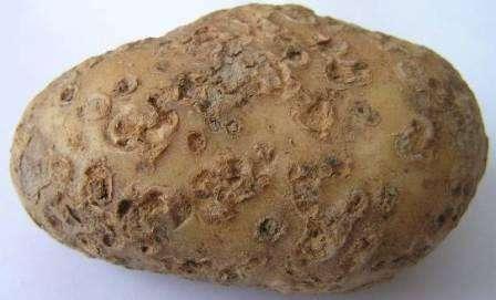 Чорна парша картоплі