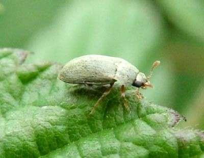 Малини жук