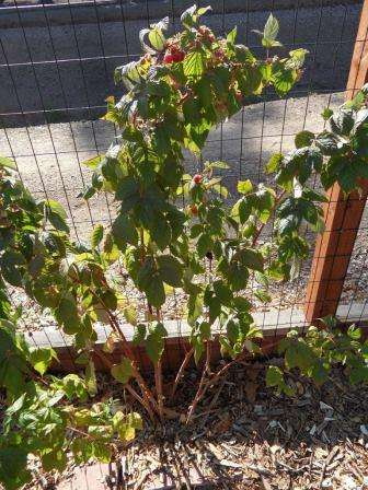 догляд за деревом малини