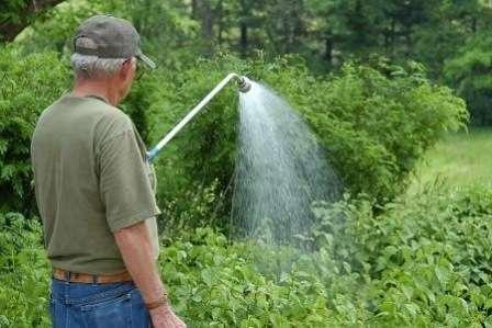 як поливати дерево малини