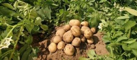 Які мінеральні добрива для картоплі