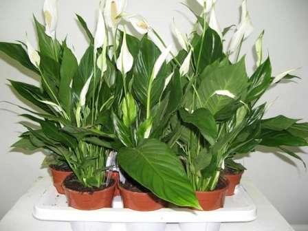 Коли потрібно удобрювати або підгодовувати кімнатні рослини