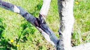 Обрізка персика весною та, як обрізати дерева персиків