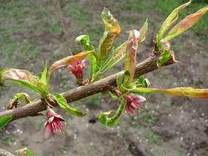 Як правильно обрізати персик весною відео