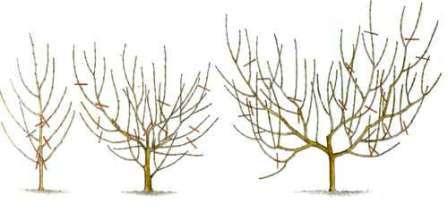 Основні параметри формування крони персика