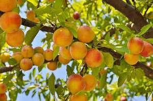 обрізка персика весною відео