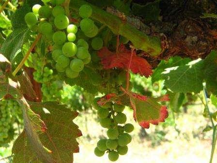 Перша весняна підгодівля винограду