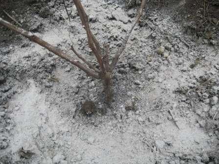 Призначення другого весняного підживлення винограду