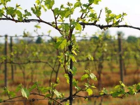 Як здійснити першу підгодівлю добривами винограду навесні