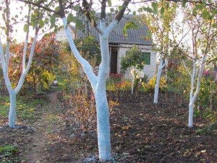 Навіщо білити дерева навесні