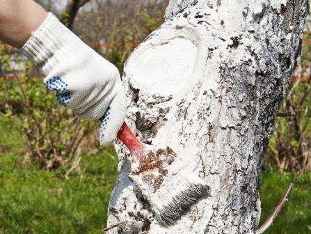 Як приготувати розчин для побілки дерев навесні