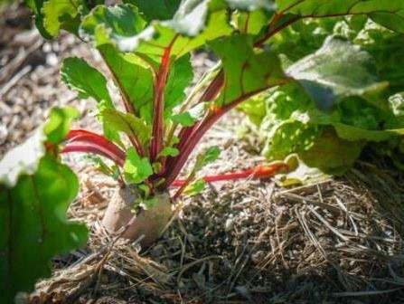 Буряк посаджена насінням, фото