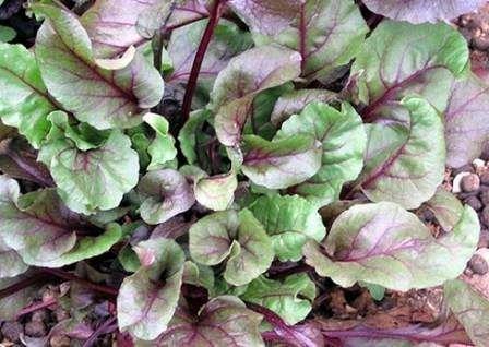 Як садити буряк насінням?