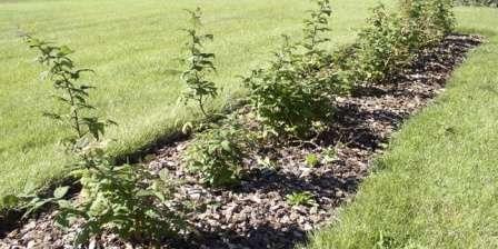 Основи догляду та правильна посадка малини весною,як садити кущ