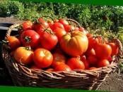 Висадка розсади помідорів у відкритий ґрунт