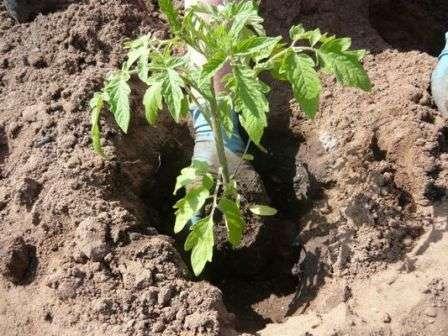 Коренева система залишається цілою і томат не хворіє при пересадці