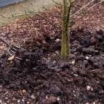 Як посадити саджанці плодових дерев