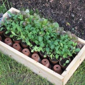 як виростити петунію з насіння