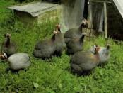 Розведення цесарок в домашніх умовах. Відео: вирощування цесарок