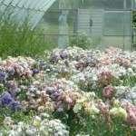 Еустома вирощування в домашніх умовах у відкритому ґрунті