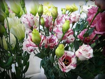 Гірська троянда (Лізіантус): вирощування та розмноження ірландської троянди