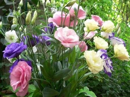 У рослини є кілька назв, в тому числі і дуже романтичних: ірландська троянда, техаський дзвіночок, тирлич прерії, гірська троянда, еустома.
