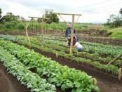 Метод вирощування овочів по Міттлайдеру - технологія і вдосконалення
