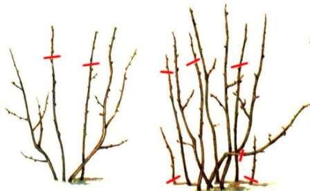 Обрізка смородини весною - відео