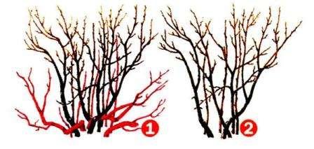 Як обрізати кущі смородини восени