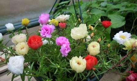 Як вирощувати квітку Портулак в домашніх умовах